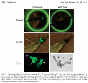 Flying syringes can be differentiated by the expression of GFP in the salivary gland, which causes transgenic mosquitos to glow green